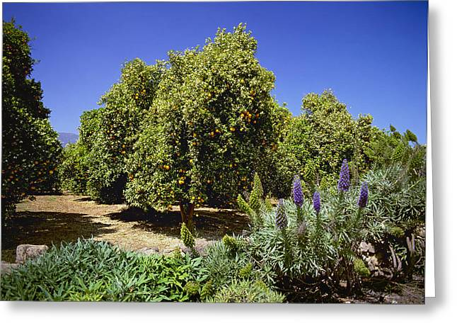Ventura California Greeting Cards - Agriculture - Valencia Orange Trees Greeting Card by Charles Blakeslee