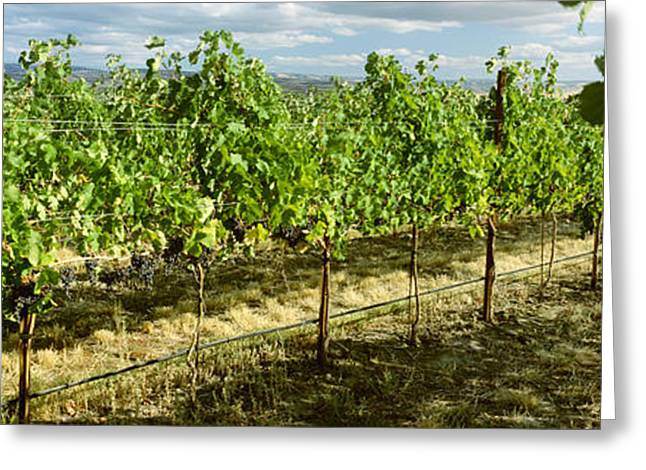 Ripening Fruit Greeting Cards - Agriculture - Vineyard Of Mature Merlot Greeting Card by Charles Blakeslee