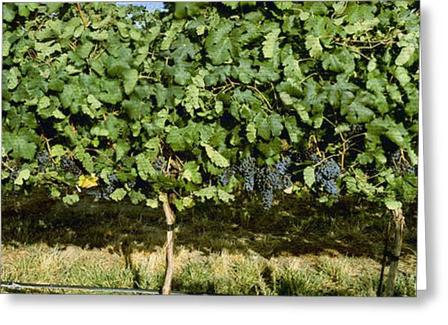 Ripening Fruit Greeting Cards - Agriculture - Vineyard Of Mature Syrah Greeting Card by Charles Blakeslee