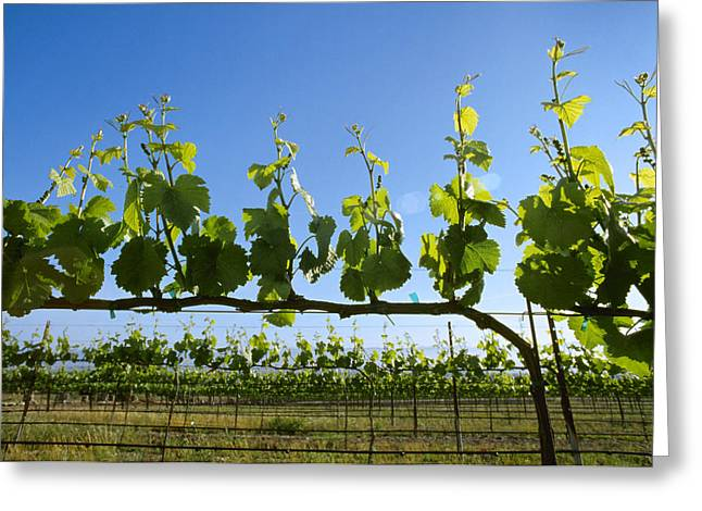 California Vineyard Greeting Cards - Agriculture - Wine Grape Vineyard Greeting Card by Ed Young