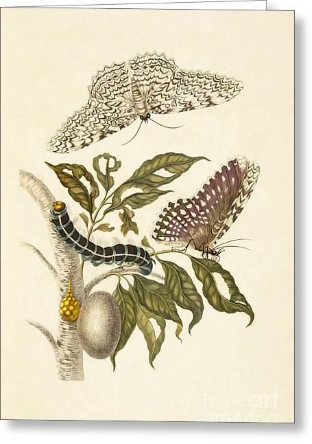 Artwork Of Butterfly Greeting Cards - Agrippa Moth Metamorphosis, Rubber Plant Greeting Card by Getty Research Institute