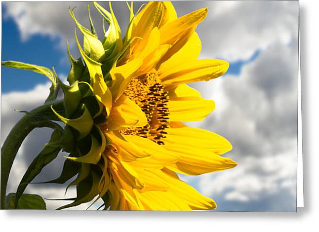 Ah Sunflower Greeting Card by Bob Orsillo