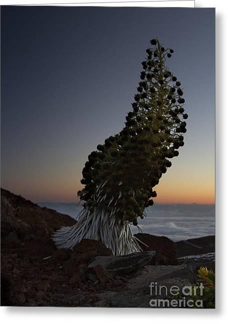 Rosette Greeting Cards - Ahinahina - Silversword - Argyroxiphium sandwicense - Summit Haleakala Maui Hawaii Greeting Card by Sharon Mau