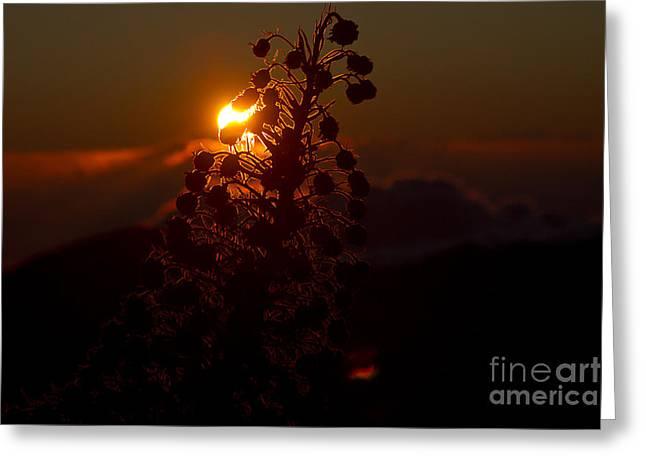 Ahinahina - Silversword - Argyroxiphium sandwicense - Sunrise on the Summit Haleakala Maui Hawaii  Greeting Card by Sharon Mau