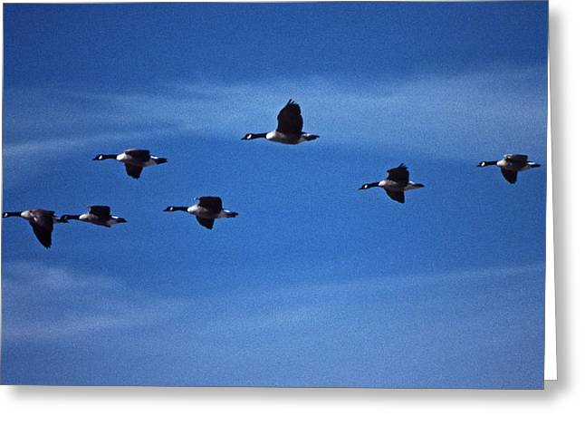Photos Of Birds Greeting Cards - Air Canada Greeting Card by Skip Willits