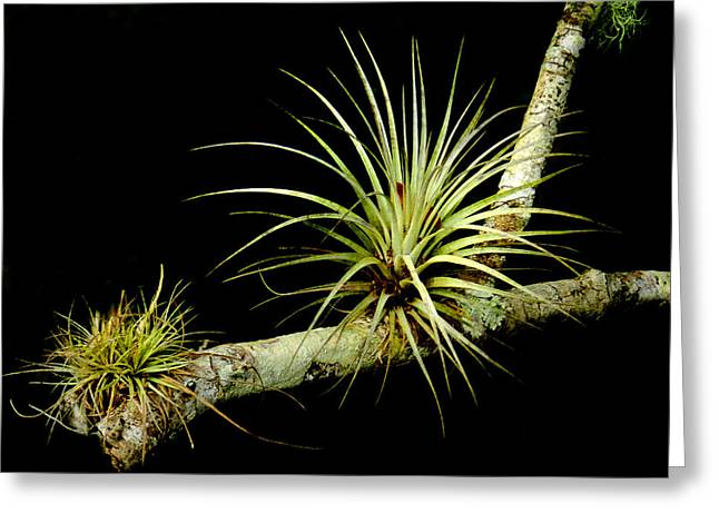 Merrit Greeting Cards - Air Plant Greeting Card by Grace Dillon