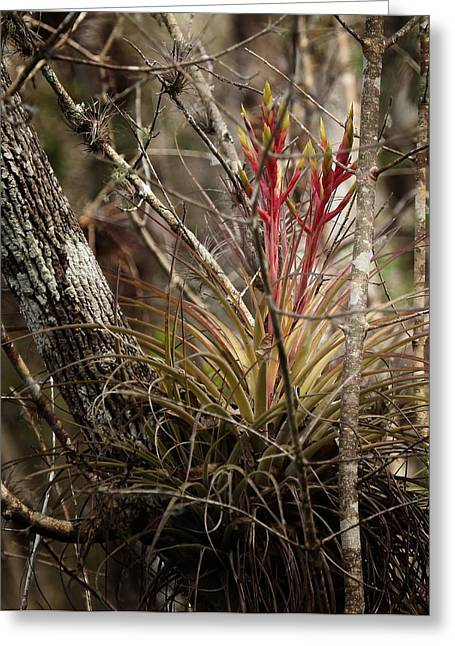 Bromeliad Photographs Greeting Cards - Air plant Greeting Card by Joseph G Holland