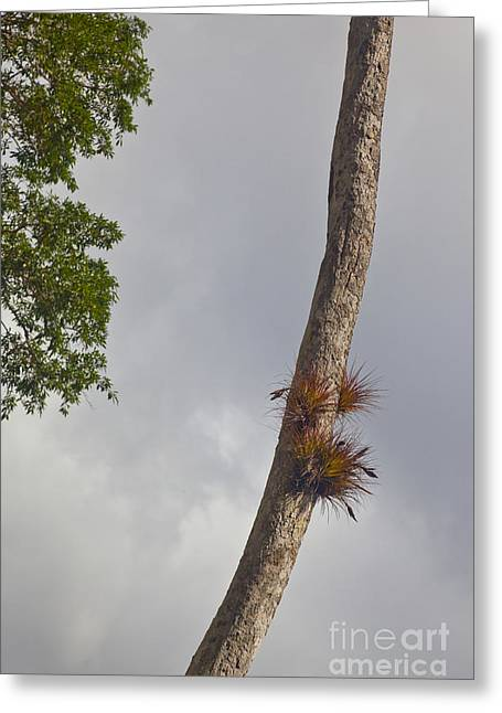 Bromeliad Greeting Cards - Air Plants Growing On Tree Trunk Greeting Card by Ellen Thane