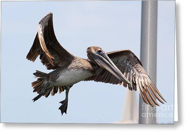 Pelicans Flying Greeting Cards - Airborne Brown Pelican Greeting Card by Carol Groenen