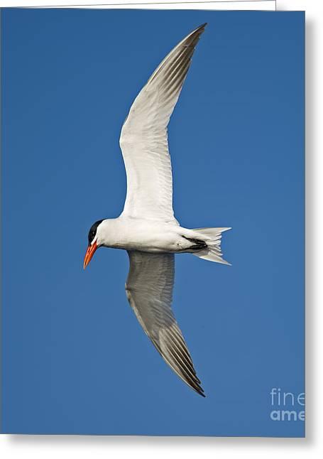 Tern Greeting Cards - Airborne... Greeting Card by Nina Stavlund