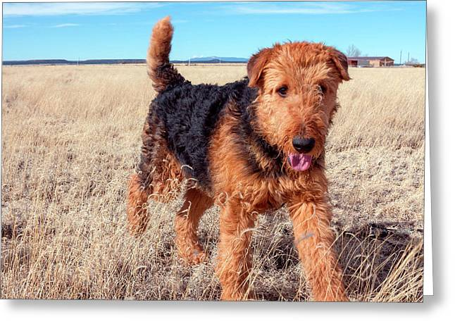 Airedale Terrier In A Field Of Dried Greeting Card by Zandria Muench Beraldo