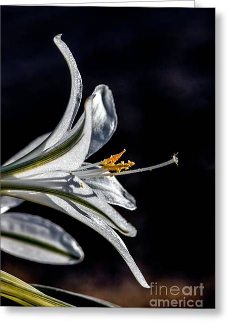 Haybale Greeting Cards - Ajo Lily Close Up Greeting Card by Robert Bales