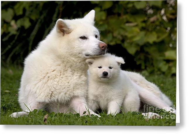 Japanese Puppy Greeting Cards - Akita Inu Dog And Puppy Greeting Card by Jean-Michel Labat