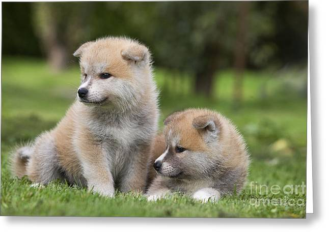 Japanese Puppy Greeting Cards - Akita Inu Puppy Dogs Greeting Card by Jean-Michel Labat