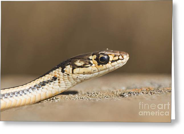 Whipsnake Greeting Cards - Alameda whipsnake Greeting Card by Dan Suzio