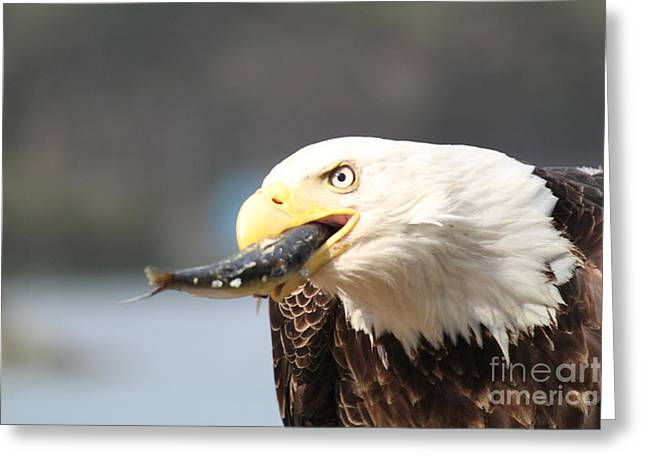 Deadliest Catch Greeting Cards - Alaska Bald Eagle Eating Greeting Card by Dean Gribble