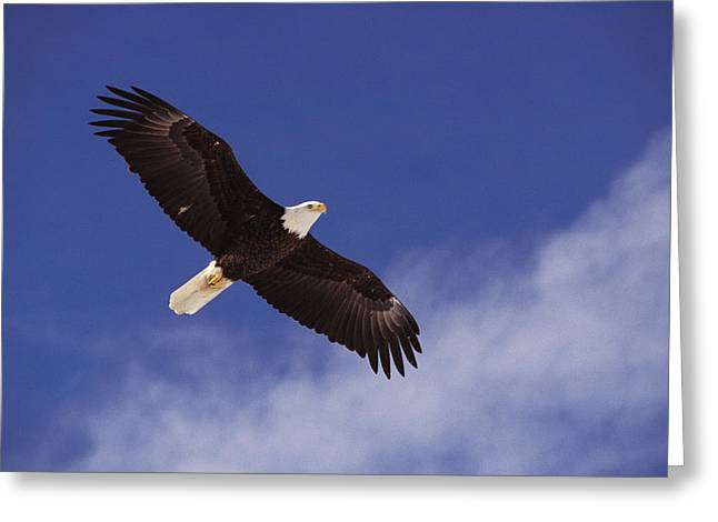 Low Wing Photographs Greeting Cards - Alaska. Bald Eagle Flying Greeting Card by Anonymous