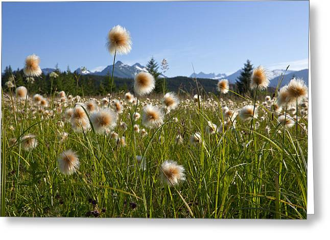 Southeast Alaska Greeting Cards - Alaska Cotton Grass In The Mendenhall Greeting Card by John Hyde
