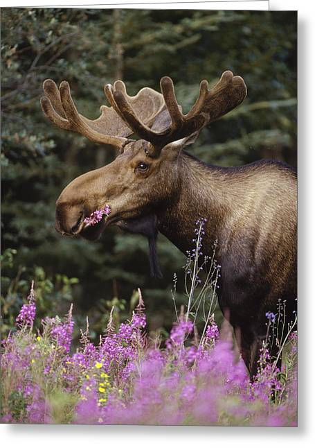 Alces Alces Greeting Cards - Alaska Moose Feeding On Fireweed Alaska Greeting Card by Michael Quinton