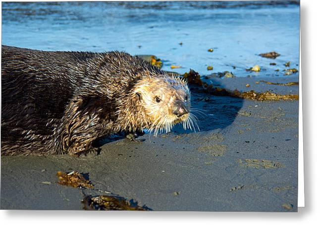 Otter Greeting Cards - Alaska Sea Otter Greeting Card by Debra  Miller