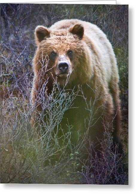 Rep Greeting Cards - Alaskan Grizzly Bear Greeting Card by National Park Service