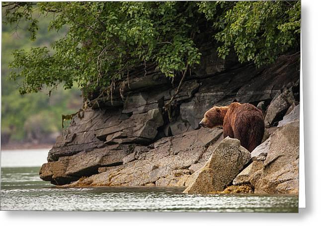 Alaskan Grizzly Bear, Ursus Arctos Greeting Card by Jak Wonderly