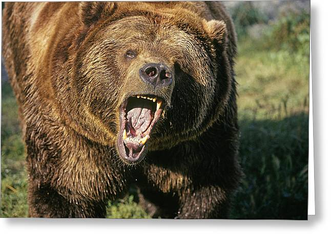 Growling Greeting Cards - Alaskan Grizzly Greeting Card by Buddy Mays