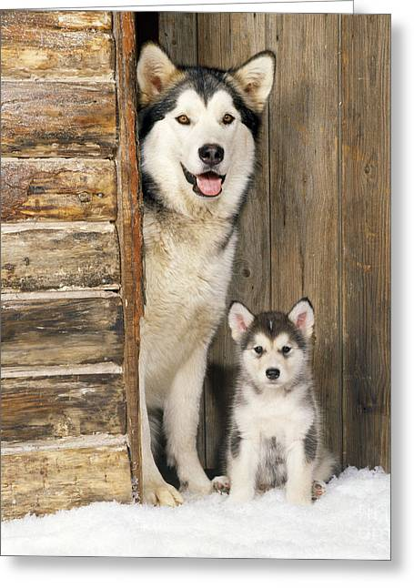 Dog In Snow Greeting Cards - Alaskan Malamute With Puppy Greeting Card by John Daniels