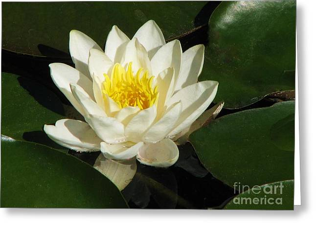 Alba Water Lily Greeting Card by Michele Penner