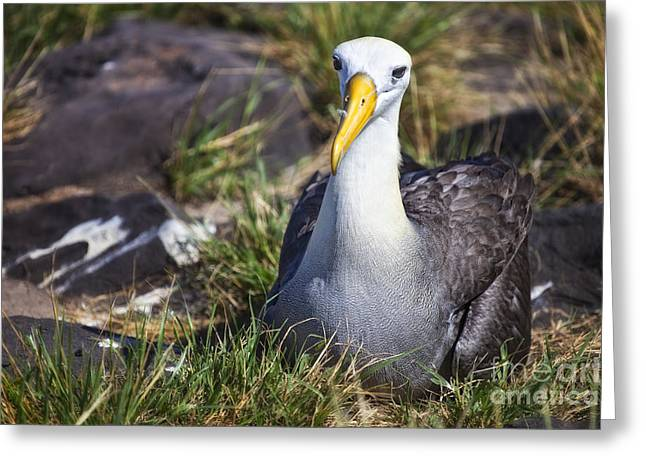 Seabirds Greeting Cards - Albatross Greeting Card by Timothy Hacker
