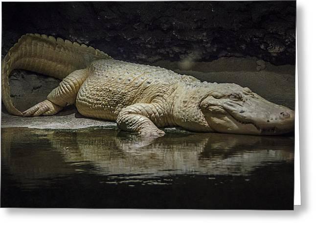 Audubon Zoo Greeting Cards - Albino Alligator Greeting Card by Jon Stephenson
