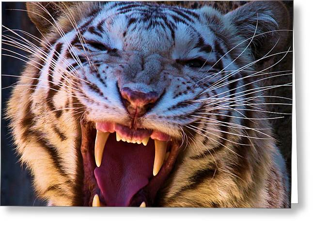 Growling Photographs Greeting Cards - Albino Fangs Greeting Card by Adam Jewell