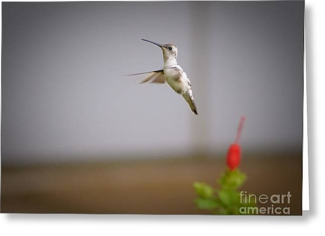 Albino Hummingbird Greeting Card by Charles Dobbs