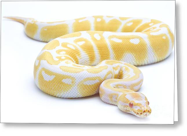 Bred Photographs Greeting Cards - Albino Royal Python Greeting Card by Michel Gunther