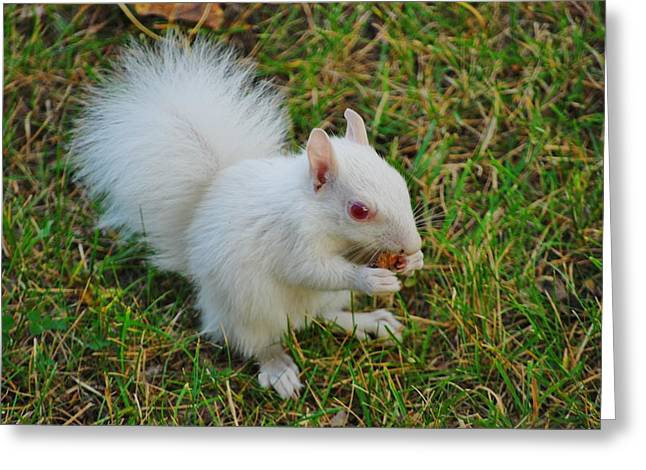 Sciurus Carolinensis Greeting Cards - Albino Squirrel 2 Greeting Card by Todd and candice Dailey