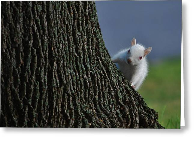 Sciurus Carolinensis Greeting Cards - Albino Squirrel Greeting Card by Todd and candice Dailey