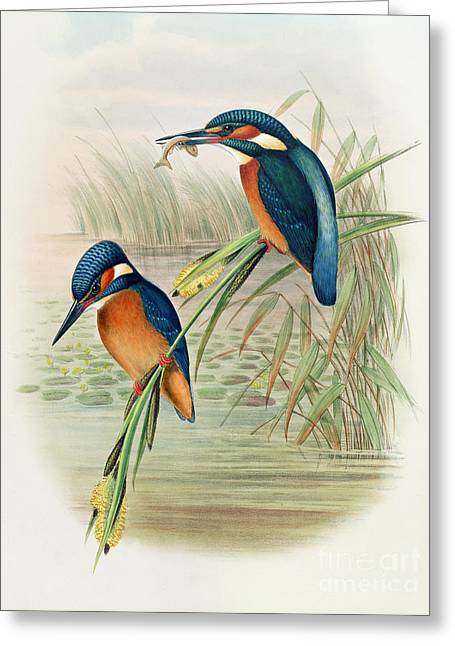 Ornithological Drawings Greeting Cards - Alcedo Ispida plate from The Birds of Great Britain by John Gould Greeting Card by John Gould William Hart