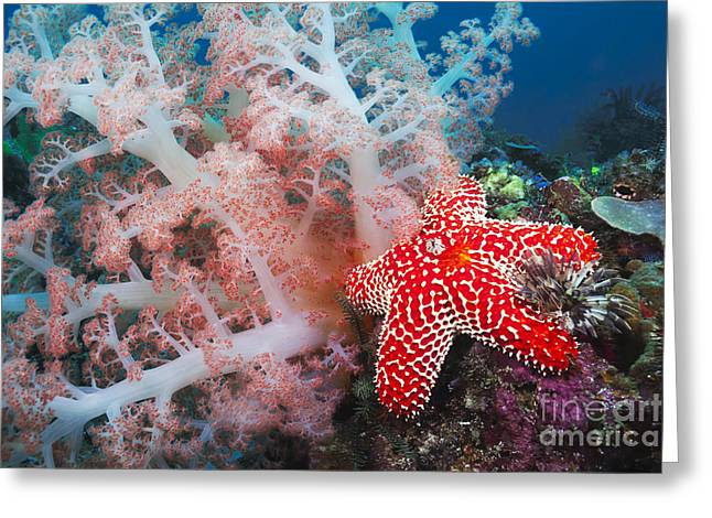 Undersea Photography Greeting Cards - Alconarian coral, starfish, crinoids and a feather dust worm all compete for space in this Indonesian reef scene off Rinca Island in Komodo National Park_ Indonesia Greeting Card by Dave Fleetham