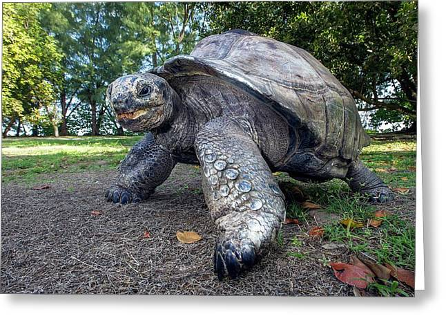 Aldabra Giant Tortoise Greeting Card by Peter Chadwick