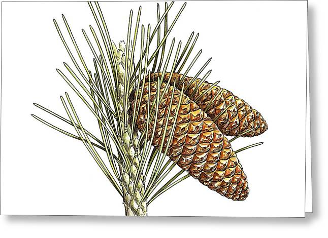 Aleppo Pine (pinus Halepensis) Cones Greeting Card by Science Photo Library