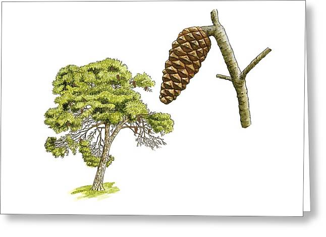 Pine Cones Greeting Cards - Aleppo pine (Pinus halepensis) tree Greeting Card by Science Photo Library