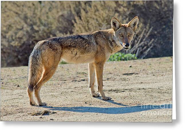 Canid Greeting Cards - Alert Coyote Greeting Card by Anthony Mercieca