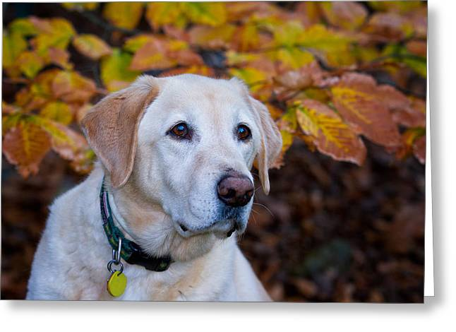 Attentive Labrador Dog Greeting Cards - Alert Greeting Card by Jeff Sinon