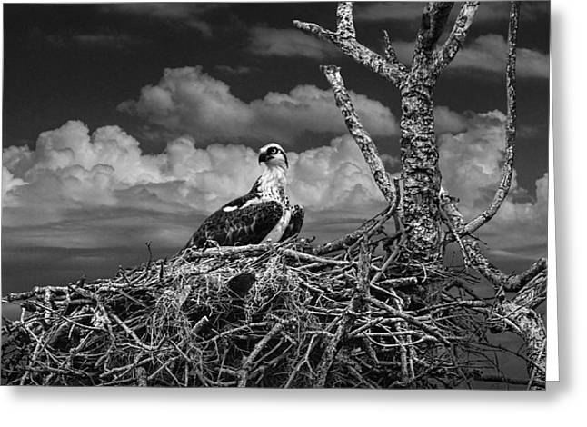Majestic Falcon Greeting Cards - Alert Osprey on its Nest Greeting Card by Randall Nyhof