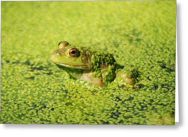 Vocalizations Mixed Media Greeting Cards - Algae covered frog Greeting Card by Optical Playground By MP Ray