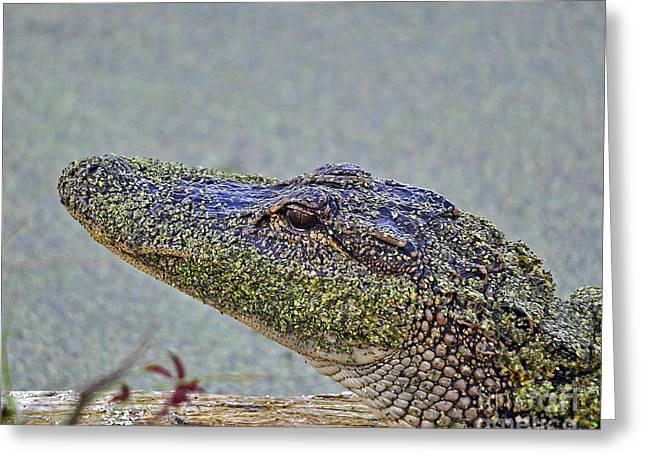 Al Powell Photography Usa Greeting Cards - Algae Gator Greeting Card by Al Powell Photography USA
