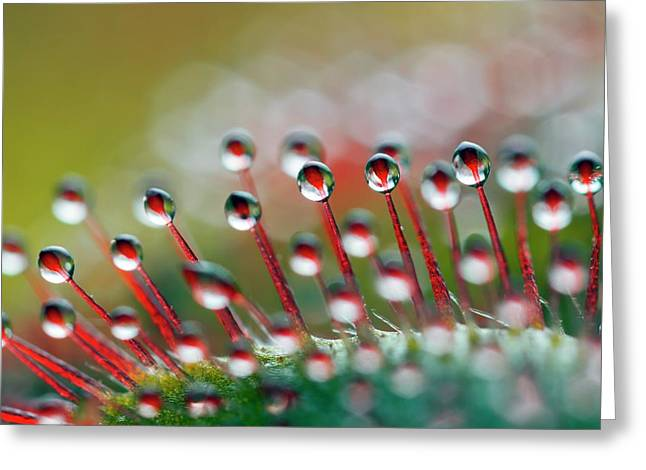 Alice Sundew Hairs Greeting Card by Alex Hyde