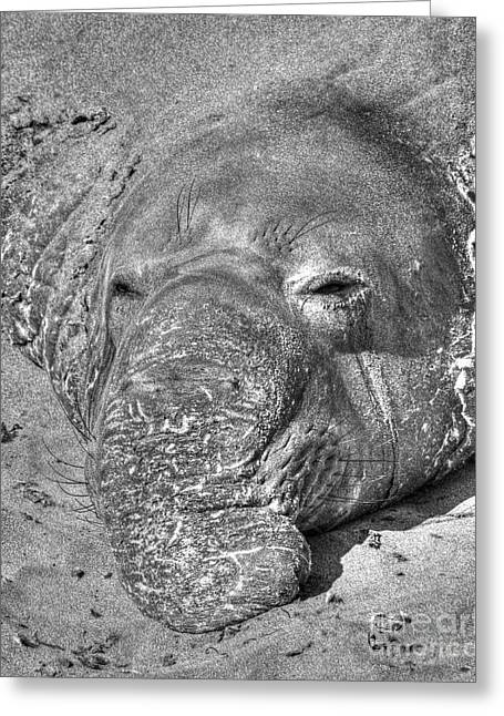 Elephant Seals Digital Greeting Cards - Alien Grey Greeting Card by James Anderson
