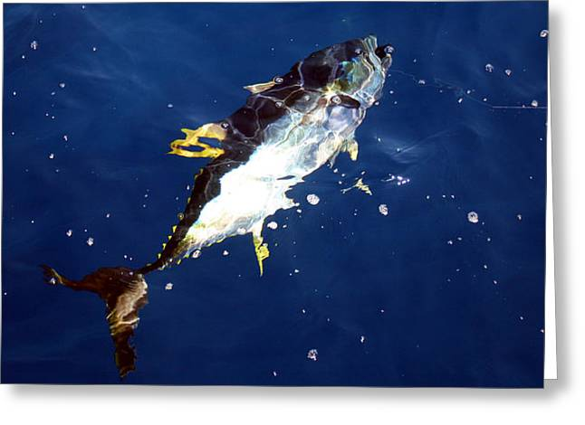 Wahoo Greeting Cards - Alijos Yellowfin Coming Up Greeting Card by Alex Mobile