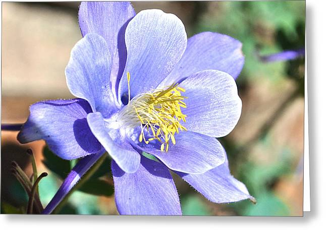 Colorado Greeting Cards - All Blue Columbine Greeting Card by Aaron Spong